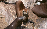 Sea lions [2] wallpaper 2560x1600 jpg