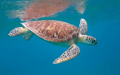Sea turtle [3] wallpaper