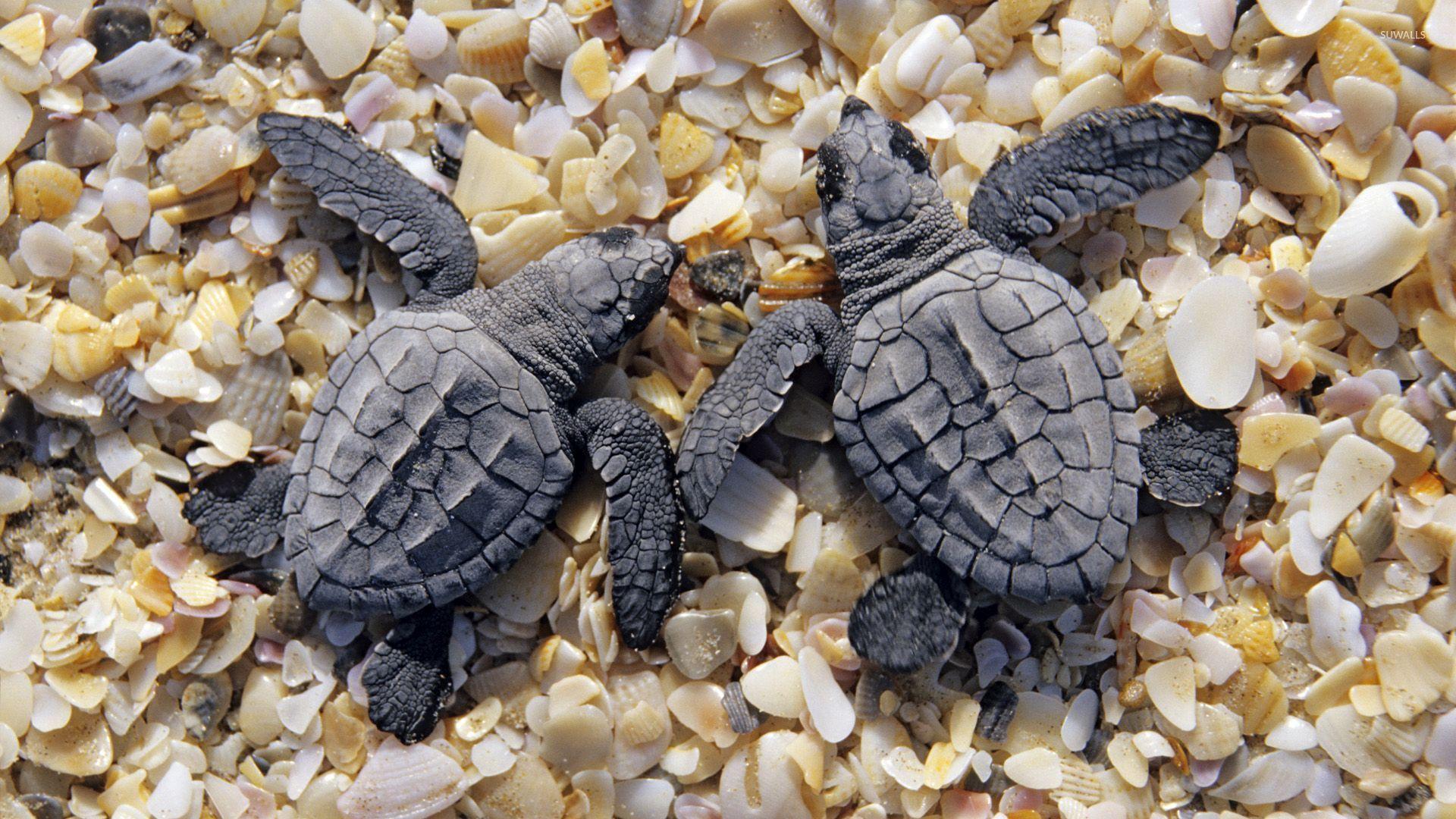 Sea turtles on shells and pebbles