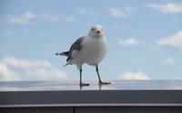 Seagull wallpaper 2560x1600 jpg