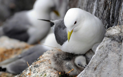 Seagull with chicks Wallpaper