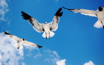 Seagulls wallpaper