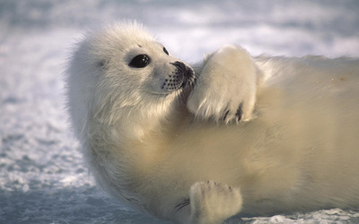 Seal [2] wallpaper