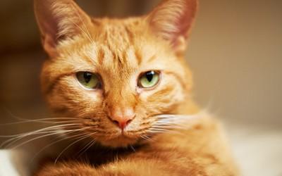 Serious cat wallpaper