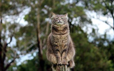 Serious furry cat on a wooden pillar wallpaper