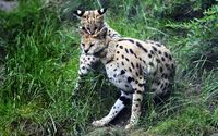 Serval playing with its cub wallpaper 2560x1600 jpg