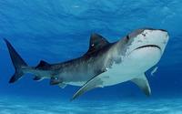 Shark wallpaper 1920x1200 jpg