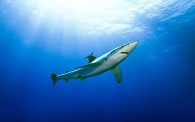 Shark [6] wallpaper