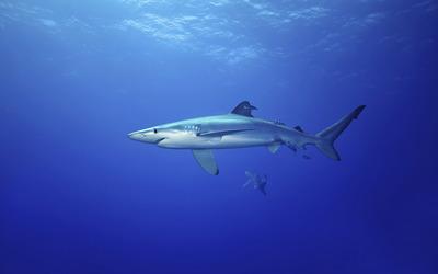 Shark [4] Wallpaper