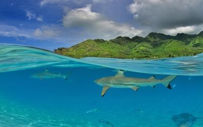 Sharks [2] wallpaper