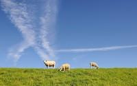 Sheep wallpaper 2560x1600 jpg