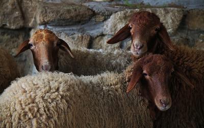 Sheep [2] wallpaper