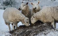 Sheep [3] wallpaper 1920x1200 jpg