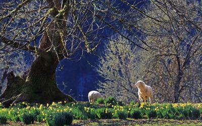 Sheep among daffodil wallpaper