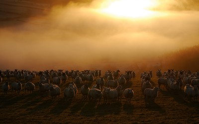 Sheep flock wallpaper