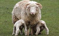 Sheep with lambs wallpaper 1920x1200 jpg