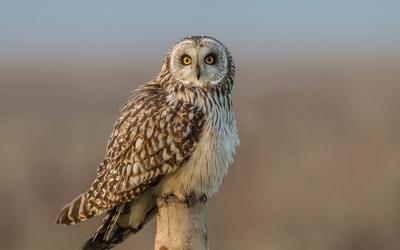 Short-eared Owl on a wooden pillar wallpaper