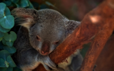 Shy koala holdinhg on to a branch wallpaper