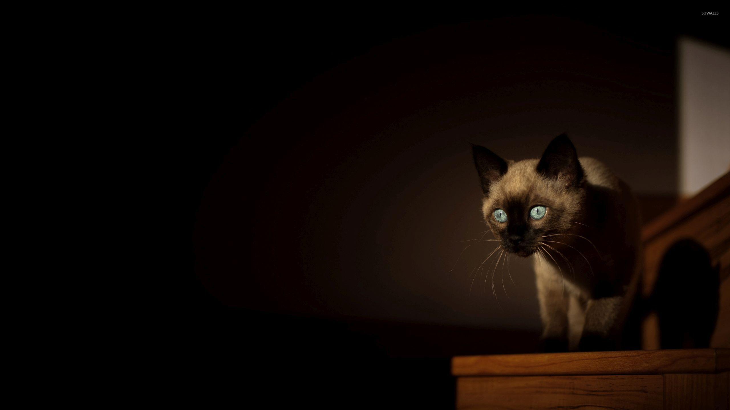 siamese cats wallpaper 3 - photo #15