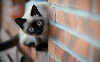 Siamese cat wallpaper