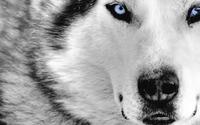 Siberian Husky wallpaper 1920x1200 jpg