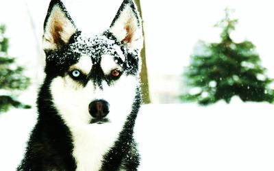 Siberian Husky [5] wallpaper
