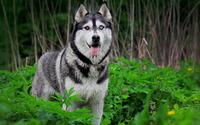 Siberian husky [4] wallpaper 1920x1080 jpg