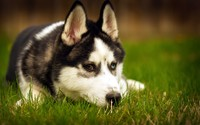 Siberian Husky [11] wallpaper 2560x1600 jpg