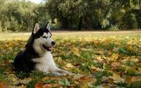Siberian Husky [8] wallpaper 1920x1080 jpg