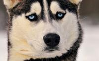 Siberian Husky [6] wallpaper 1920x1080 jpg