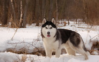 Siberian Husky [10] wallpaper 1920x1080 jpg