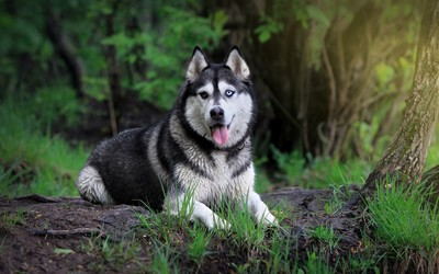 Siberian Husky in the forest wallpaper