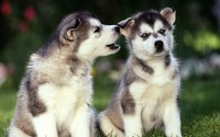 Siberian Husky puppies wallpaper 1920x1080 jpg