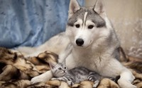 Siberian Husky with a kitten wallpaper 1920x1200 jpg