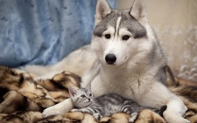 Siberian Husky with a kitten wallpaper