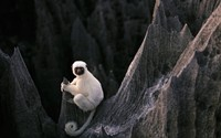 Sifaka wallpaper 1920x1200 jpg