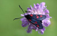 Six-spot Burnet wallpaper 1920x1200 jpg