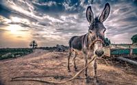 Skinny donkey wallpaper 2560x1600 jpg