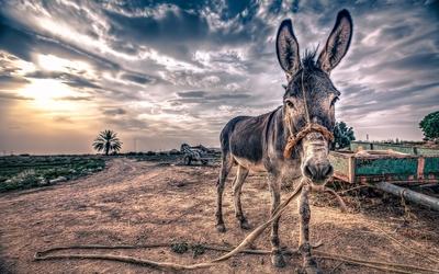 Skinny donkey Wallpaper