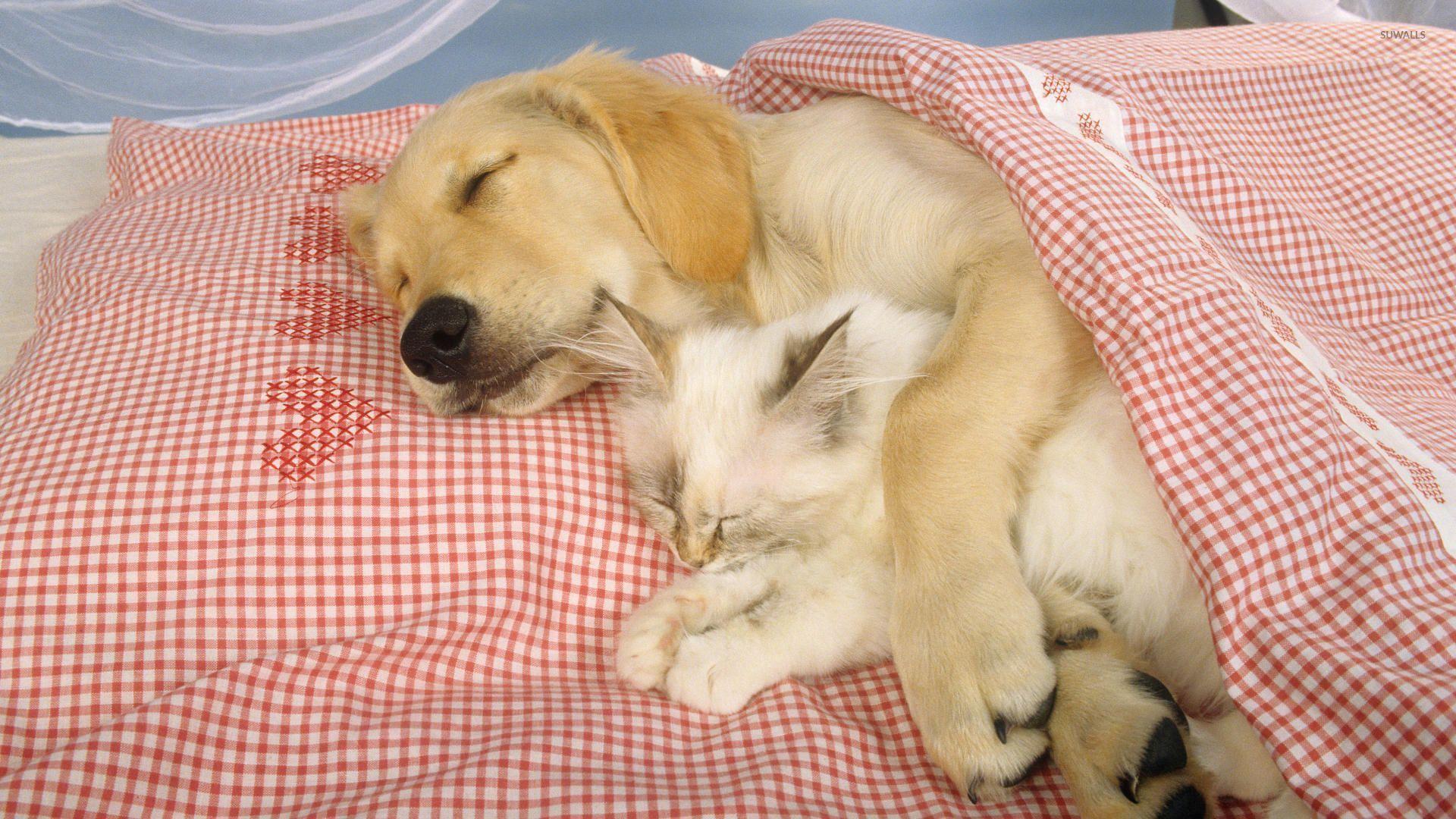 Sleeping dog holding a cute kitten wallpaper - Animal ...