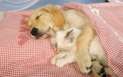 Sleeping dog holding a cute kitten wallpaper