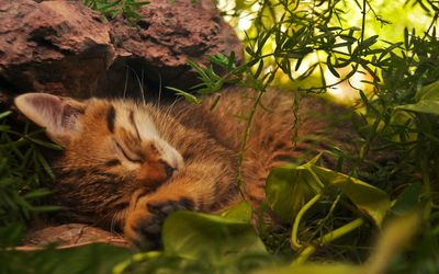 Sleeping kitten wallpaper