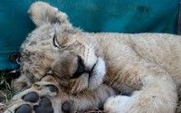 Sleeping lion cub wallpaper 1920x1200 jpg