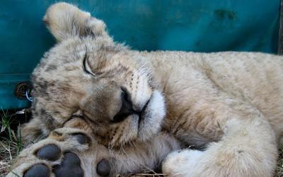 Sleeping lion cub wallpaper