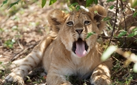 Sleeping lion cub on the ground wallpaper 2560x1600 jpg