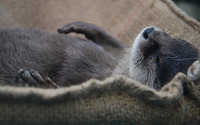 Sleeping Otter wallpaper 2560x1440 jpg