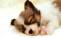 Sleeping papillon puppy wallpaper 1920x1200 jpg