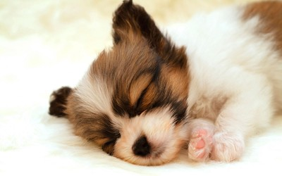 Sleeping papillon puppy wallpaper