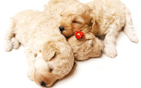 Sleeping puppies wallpaper 1920x1080 jpg