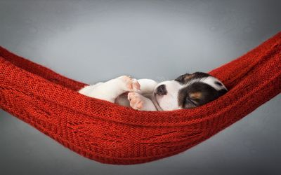 Sleeping puppy in a hammock wallpaper